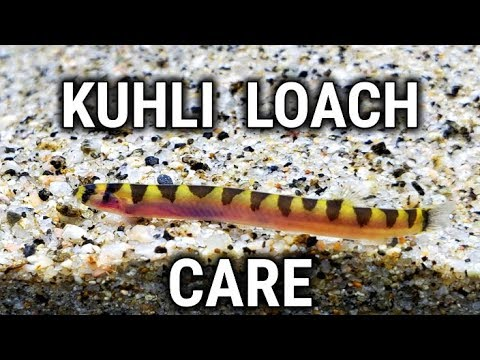 Common Yet Oddball Fish For Your Aquarium - Kuhli Loach Care Guide