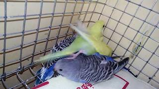 budgies chicks come out nest box  | budgies | wonderpets