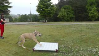 Dog Training: Molly The Great Dane Puppy Learning How To Focus Around Distractions