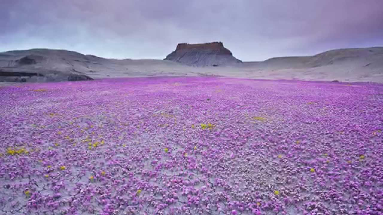 Flowers growing in Desert Regions HD 2014   YouTube