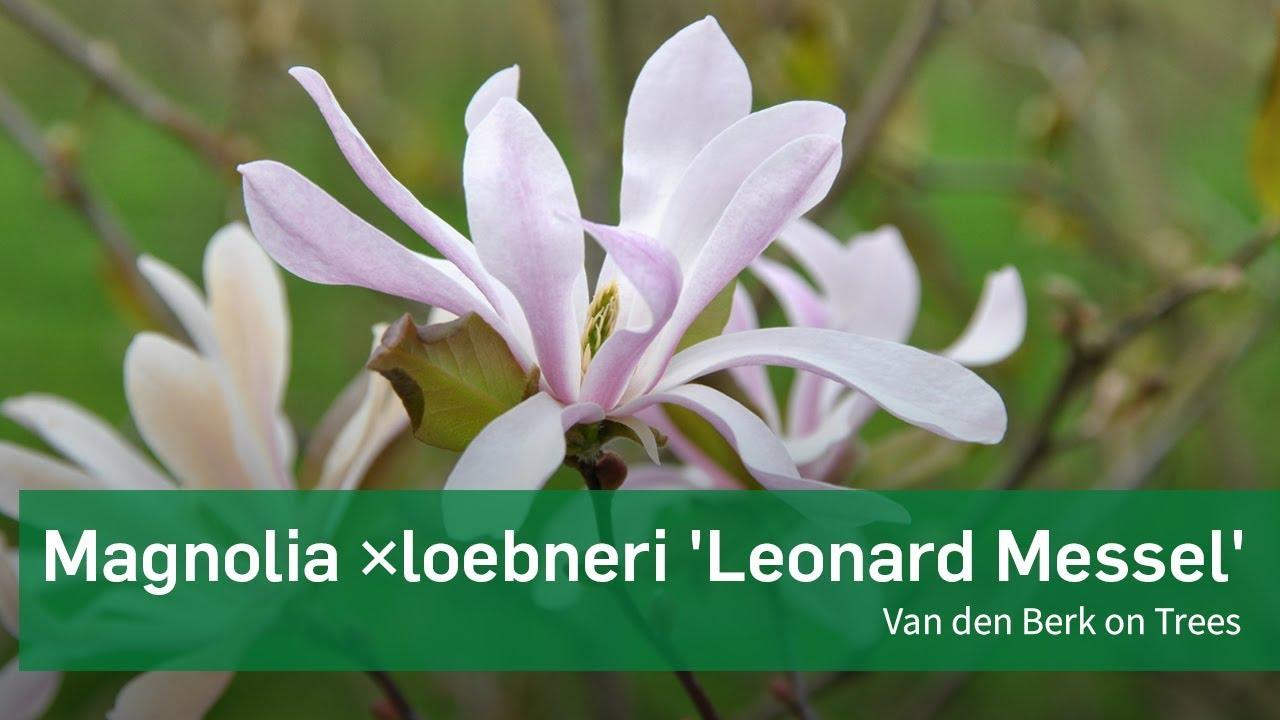 Magnolia Loebneri Leonard Messel Van Den Berk On Trees Youtube