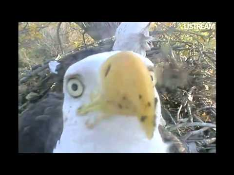 Decorah Eagle Dad Pecks At Camera 10-8-11 9:06am CDT