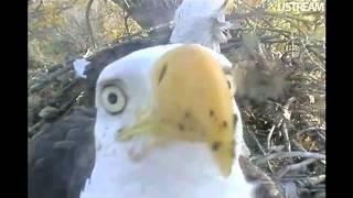 decorah eagle dad pecks at camera 10 8 11 9 06am cdt