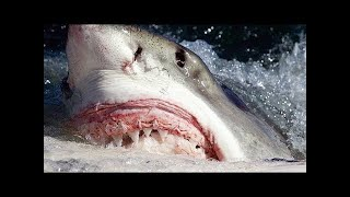 When Great White Sharks Attack
