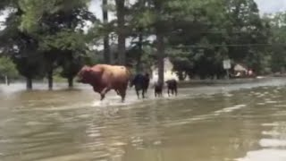 Cattle Roam Flooded Louisiana Streets