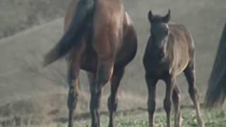 Лошади Кабардинской породы на Малокарачаевском кон.заводе / из фильма