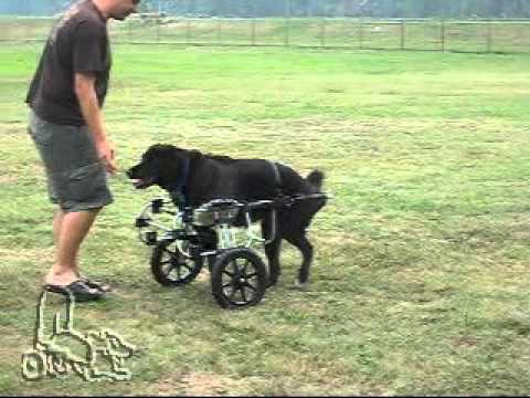 Amputee Lab In A K 9 Cart Dog Wheelchair Youtube