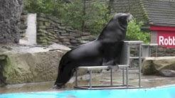 Kalifornischer Seelöwe