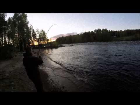 Mattias Hellman drillar en lax på 13,3 kg i Kalixälv.