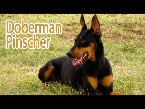 Dobermann Pinscher Breed