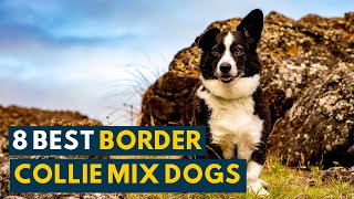 Border Collie Mix: Your Complete Guide To 8 Popular Collie Mix Dogs!