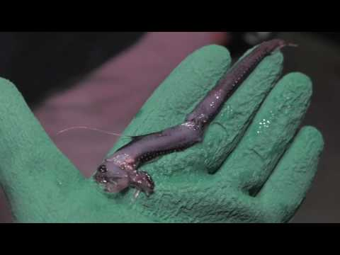 Jérôme Mallefet Talks About The Bioluminescent Viperfish