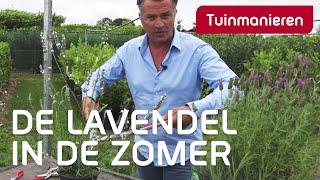 Lavendel snoeien in de zomer: hoe doe je dat?   Tuinmanieren