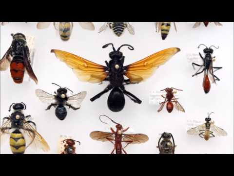 Wasp Evolution