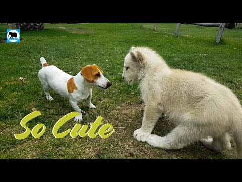 Cute baby animals - Lion Cub, Dog And A Cat Are best friends