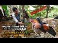 Experiment Gila Bikin Rugi Ayam Hutan Di Pasang Gopro Langsung Terbang  Mp3 - Mp4 Download