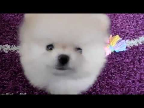 Funny Cute Teacup Pomeranian puppy Boo playing