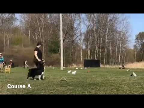 Astra competes! Advanced Rally Obedience