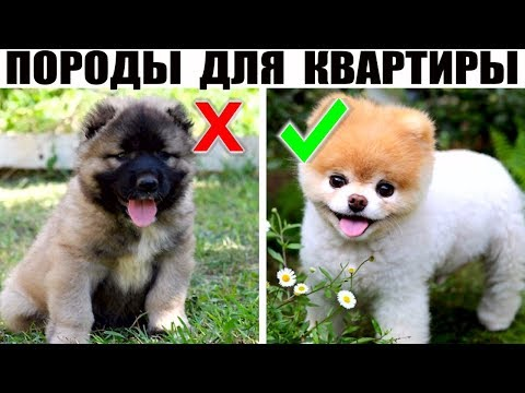 7 Добрейших маленьких пород собак, которые идеально подойдут для квартиры