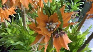база цветов ФЛОРЭВИЛЬ. Обзор горшечных растений 29.04.2018г. Огромный выбор цветов и орхидей