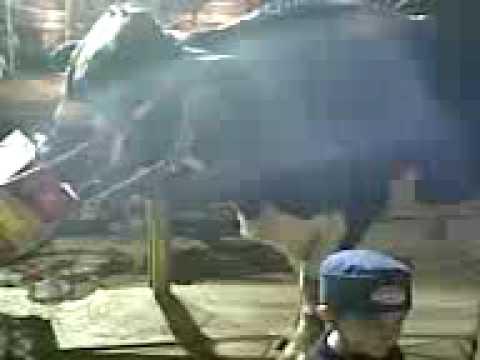 Bakra Eid 2008 bulls n camels in Gulshan blk 6
