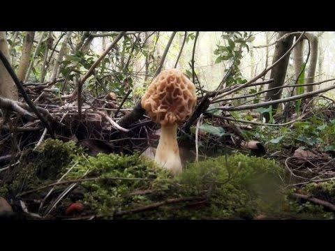 Morchella esculenta 2015 [HD]