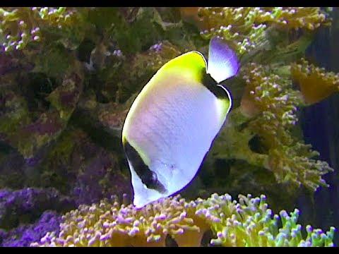 リーフバタフライフィッシュ Reef butterflyfish Chaetodon sedentarius