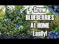 How to grow Blue berry plants at home (high bush)