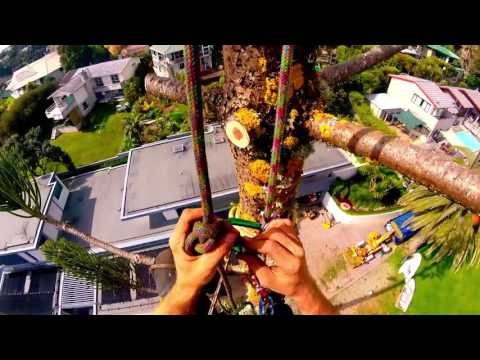 Arborist T&R Removing Norfolk Island Pine