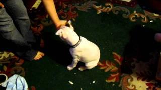 Clicker Training - Staffy Puppy