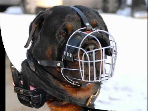 Perros Rottweiler Fotos Youtube