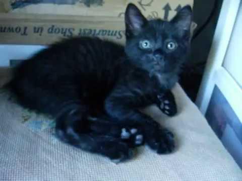 Bengal/Manx kitten - black - talking to you