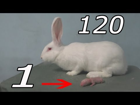 Как растут кролики