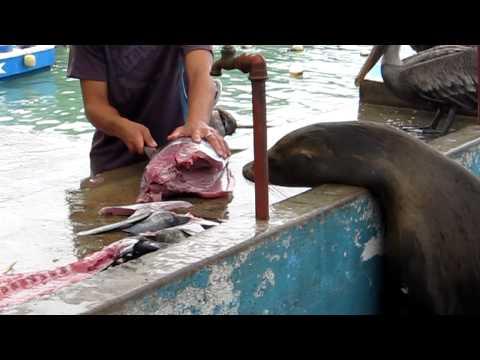 Fishmarket, Puerto Ayora, Santa Cruz Island, Galapagos