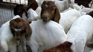 Few NegativeQuestion and sales information about Boer Goat Farm Sachin Gaikwad