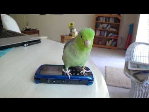 So Cute!  Kiwi the Parrotlet attacks phone when it rings!