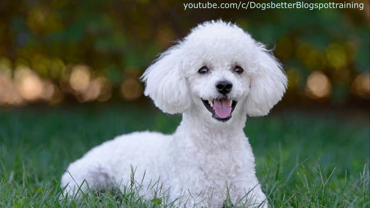 Top 10 family dog breeds kid friendly youtube - Best dog breeds kids ...