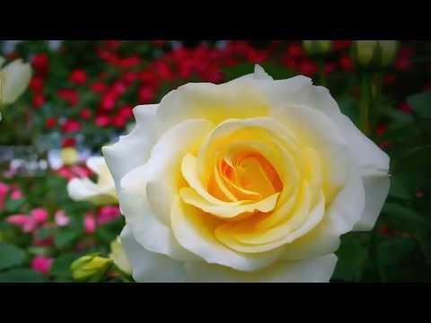 Цветы Розы (Flores Rozы)