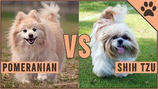 Pomeranian vs Shih Tzu  All Differences
