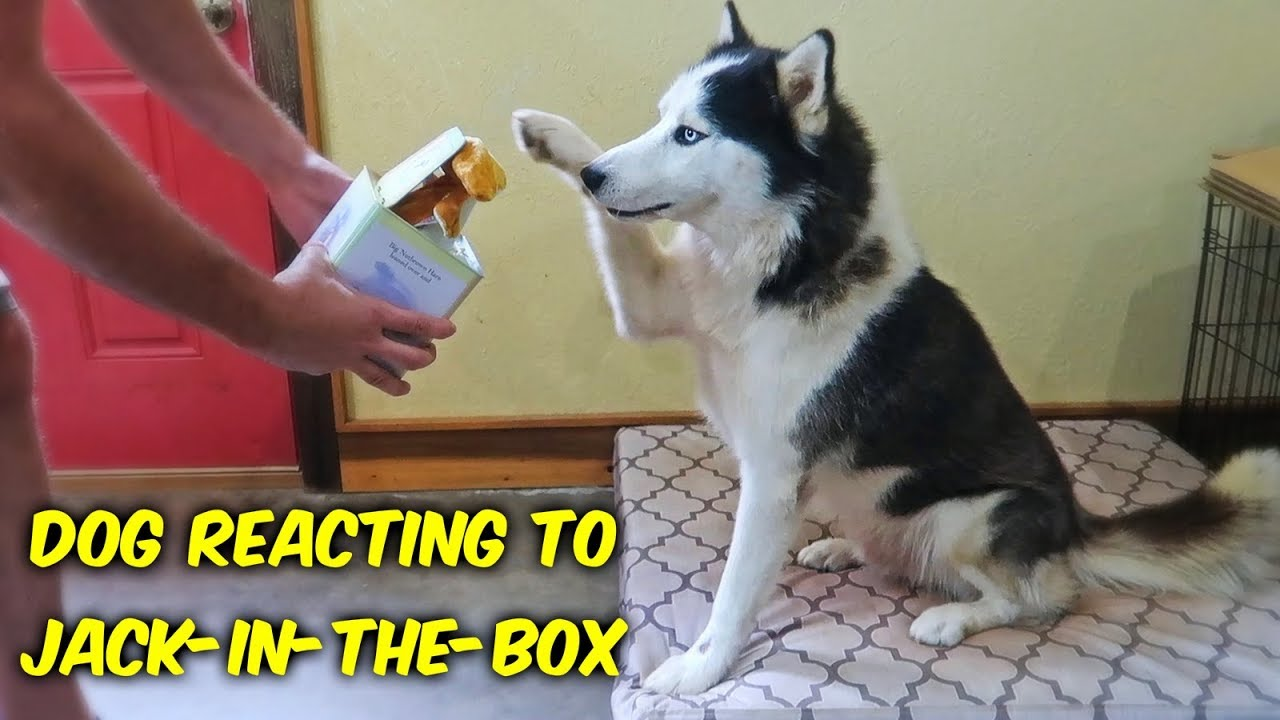 Dog React to Jack In The Box!