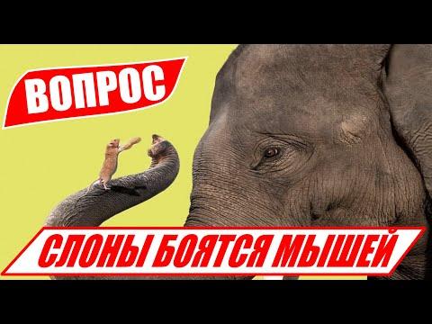 Почему СЛОНЫ боятся МЫШЕЙ? Рубрика вопрос! Отвечаем почему же громадные слоны боятся маленьких мышей