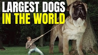 11 LARGEST DOGS IN THE WORLD