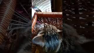 Кошка Феня играет!!!!!
