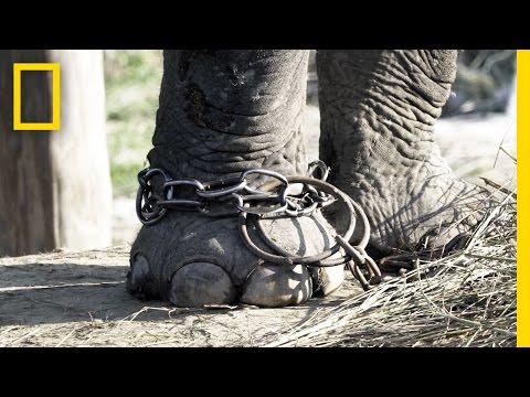 Unchaining Captive Elephants in Nepal | National Geographic