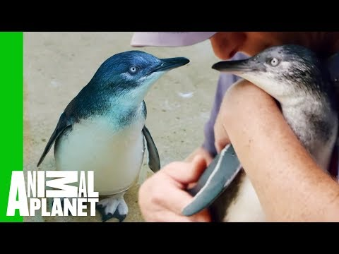 Training Day: JP The Baby Penguin Swims Solo    The Zoo