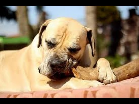 Boerboel / Dog Breed