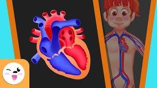 La video circulación sanguínea de