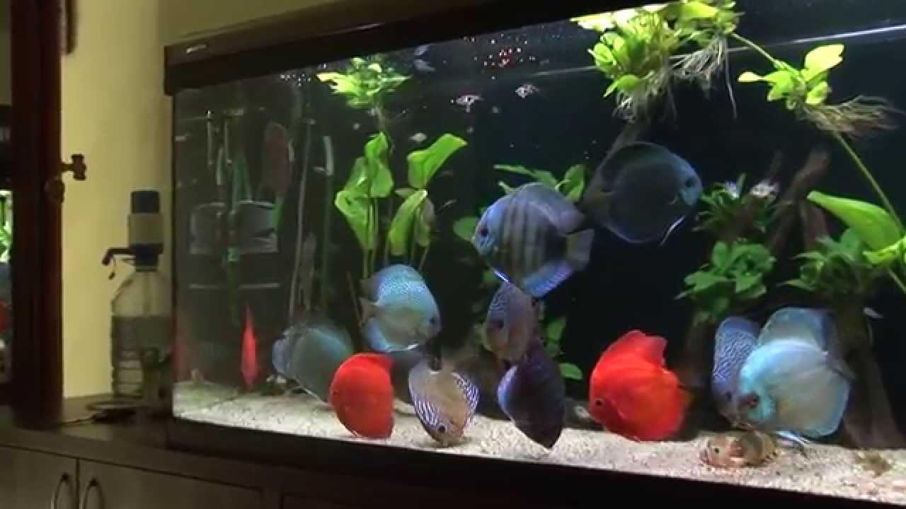 décoration aquarium discus
