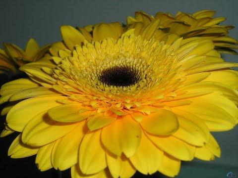 Дарите жёлтые цветы! Не верьте злым приметам!