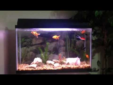 Goldfish and molly fish tank youtube for Youtube fish tank